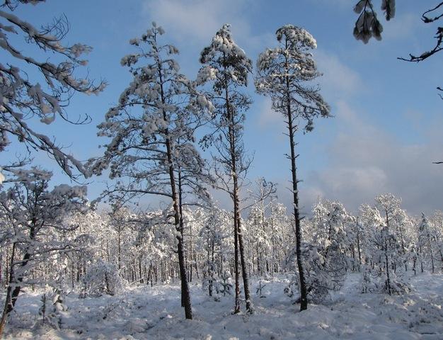 Three_pines.jpg