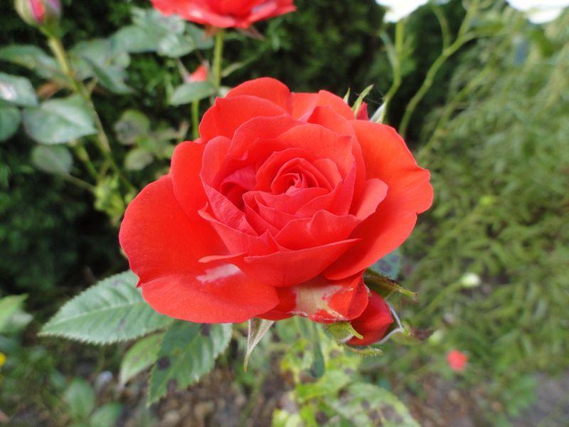 15. роза1.JPG