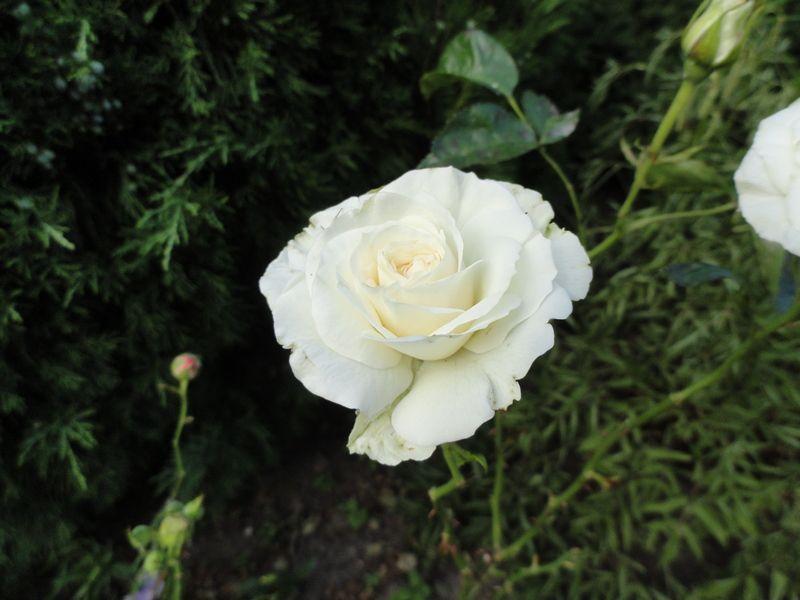 16. роза2.JPG