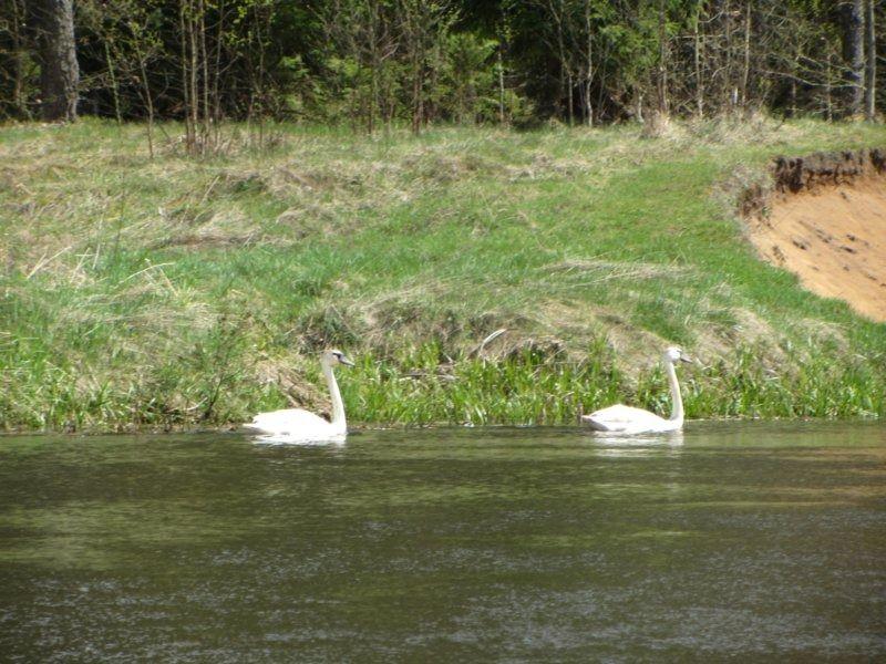 12. лебеди.JPG