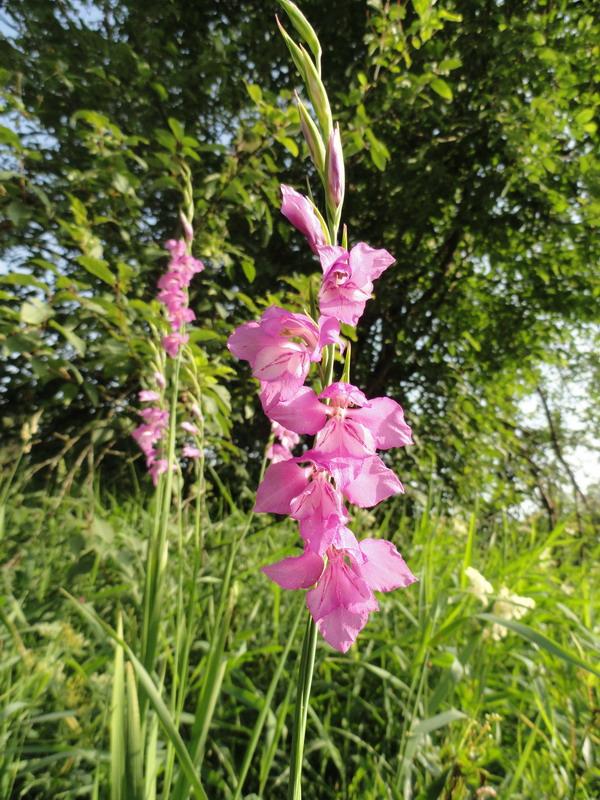 DSC00984.gladiolus.jpg