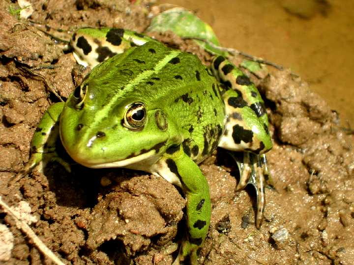 froggi.jpg